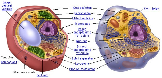 cell Cell Theory-Human Cells