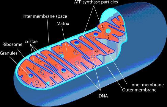 Mitochondria Mitochondria: Powerplant of the Cell