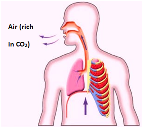 Exhalation Respiration in Living Organism