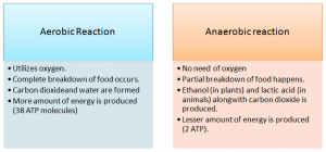 Aerobic-reactiona-nd-anaerobic-reaction-300x140 Respiration in Living Organism