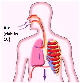 Inhalation Respiration in living organism