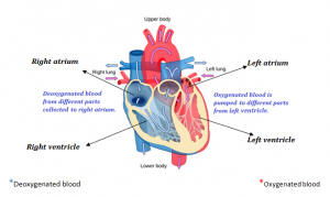 Circulatory System | Blood Circulation In Heart | Blood ...