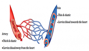 Blood-Vessels-300x171 Circulatory System