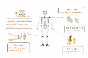 Human-Skeletal-System-300x199 Skeletal System: Human Anatomy, Body movements