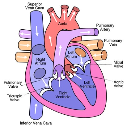 Internal-Structure-of-heart Important Diagrams for CBSE Class 10 Biology