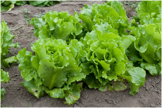 Lettuce How to Grow Lettuce at Home