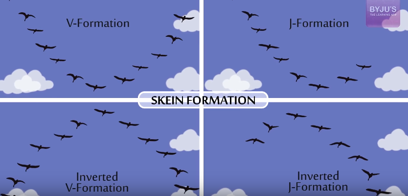 Skein-Formation Why Do Birds Fly In a V Format?
