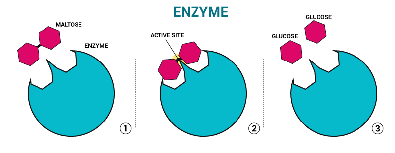 enzymes structure of an enzyme and their use chemistry. Black Bedroom Furniture Sets. Home Design Ideas