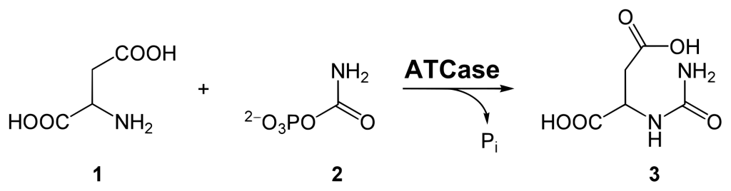 Synthesis of carbamoyl aspartic acid
