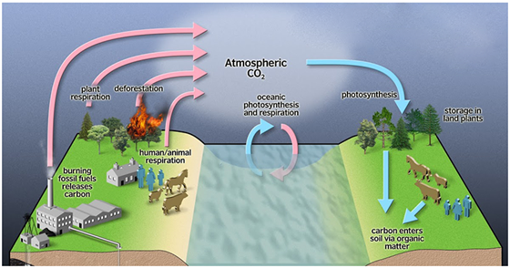 Carbon cycle definition explanation diagram steps carbon cycle diagram ccuart Choice Image