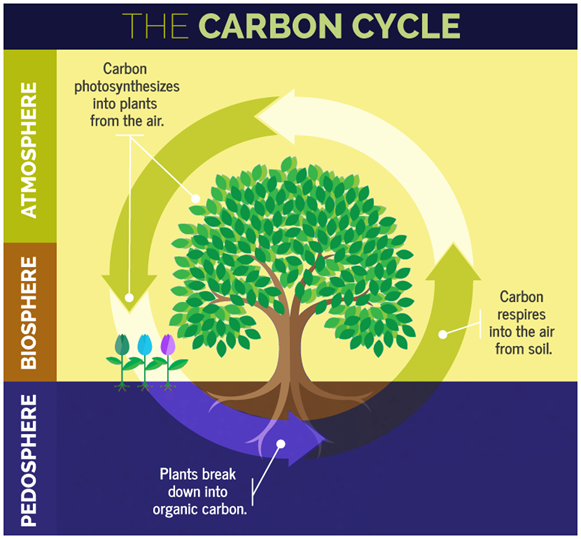 Carbon cycle definition explanation carbon cycle diagram carbon cycle ccuart Choice Image