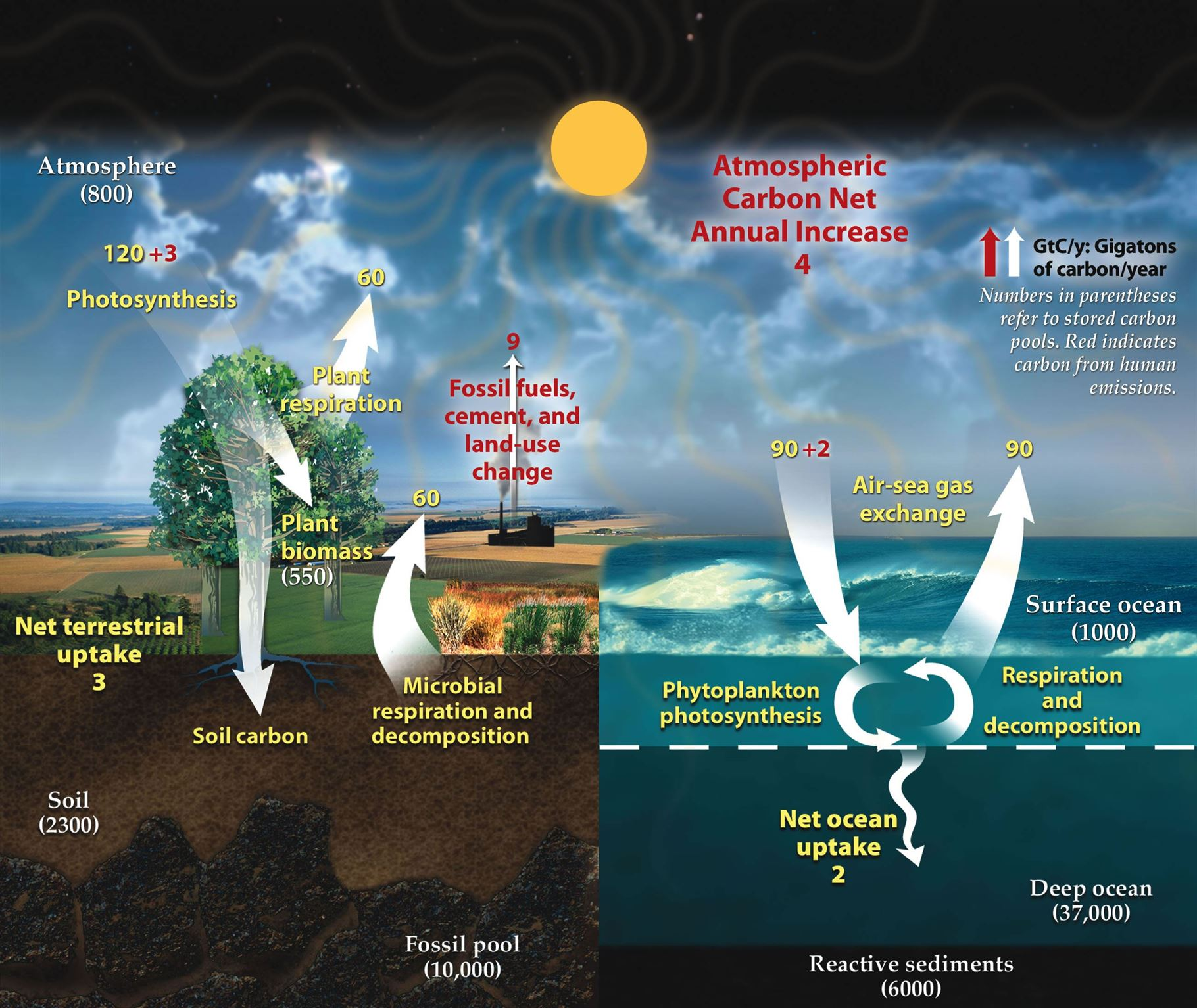 Carbon cycle definition explanation carbon cycle diagram carbon cycle ccuart Image collections