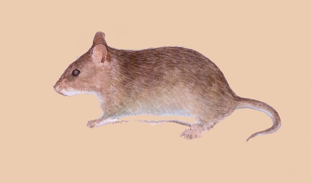 https://upload.wikimedia.org/wikipedia/commons/b/b5/Kondana_rat.jpg