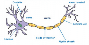 Ncert solutions for class 9 science chapter 6 tissues pdf 9 draw a diagram of neuron and also label ccuart Gallery