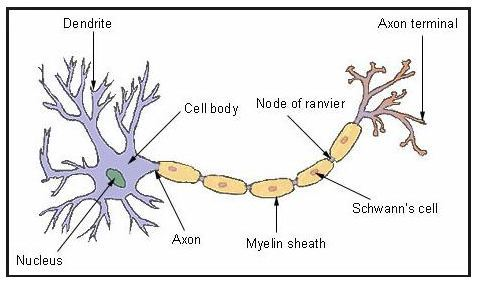 Ncert solutions for class 8 science chapter 8 cell structure and the main function of the nerve cell is to transmit messages to the brain from receptor organs and vice versa it has a control over the working of different ccuart Gallery