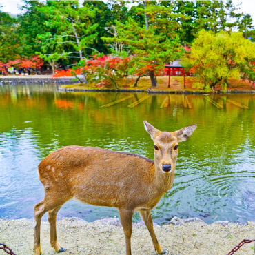 The Sika deer. Large flocks were found roaming the streets in Japan.