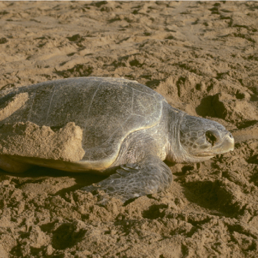 Olive Ridley Turtles gather in the thousands in Odisha during nesting season.