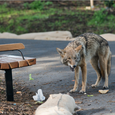 Packs of Coyotes were spotted on the streets in California.