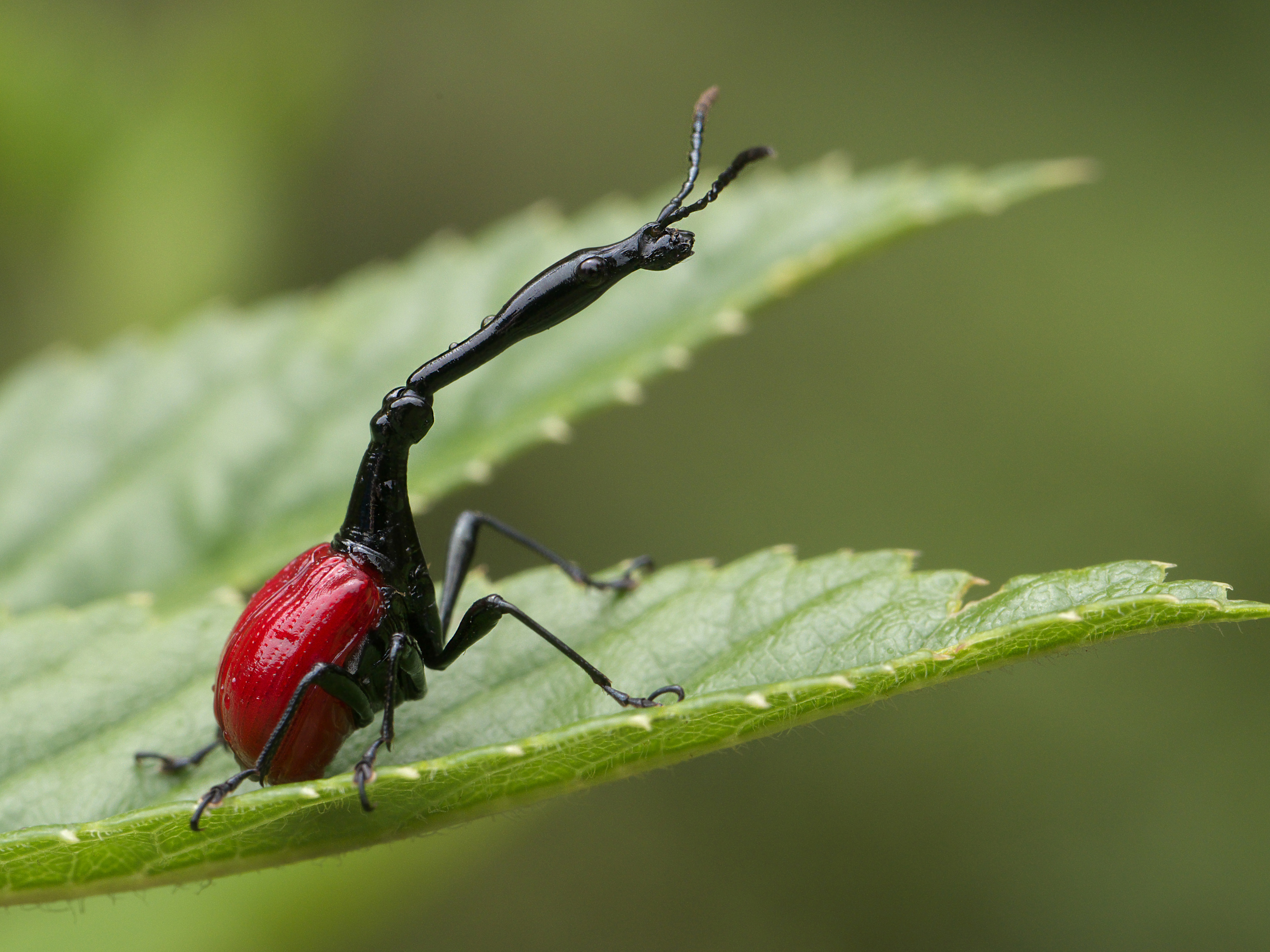 The giraffe necked weevil spends their entire lives on a tree known as the 'giraffe beetle tree' that serves them with food and shelter.
