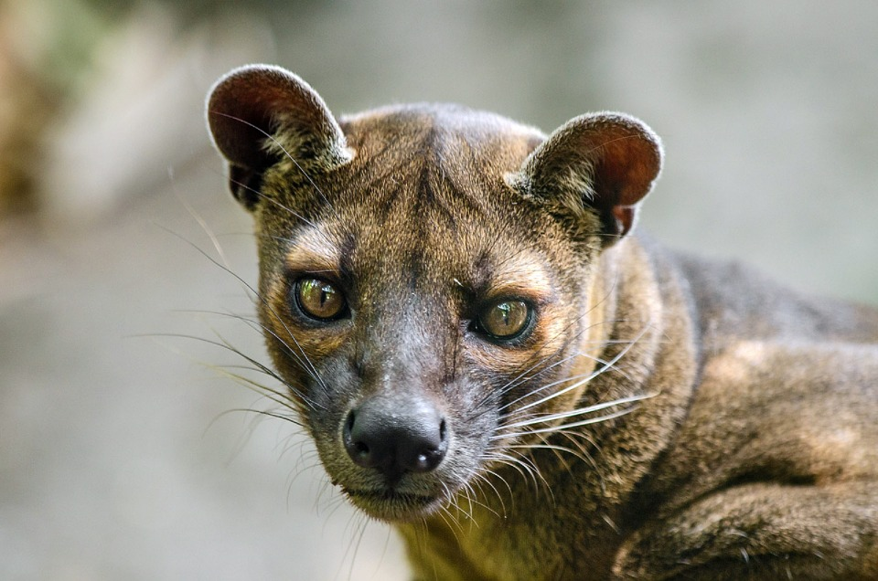 Found only in the deep forest of Madagascar, Fossas are really quick and can travel up to 25 kilometers in a day.