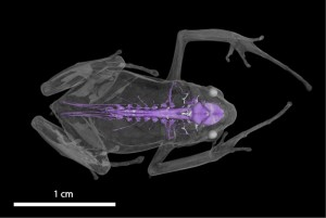 Micro-CT scanner allows inside view of even the tiniest of animals. In pic is the scanner view of the nervous system of the Burundi screeching frog, Arthroleptis schubotzi. Credit: Florida Museum of Natural History scan by David Blackburn