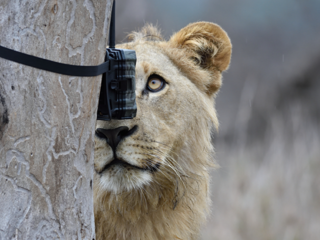 A lion staring right into the Camera Trap attached on a tree bark