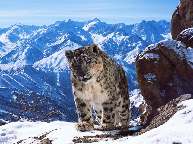 New camera technology helped 'Planet Earth II' producers capture unprecedented footage of the elusive snow leopard. Credit: BBC America/David Willis