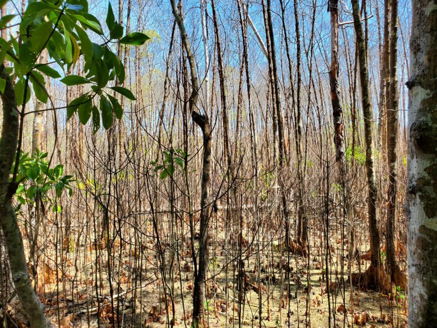 Maldives Mangrove die off