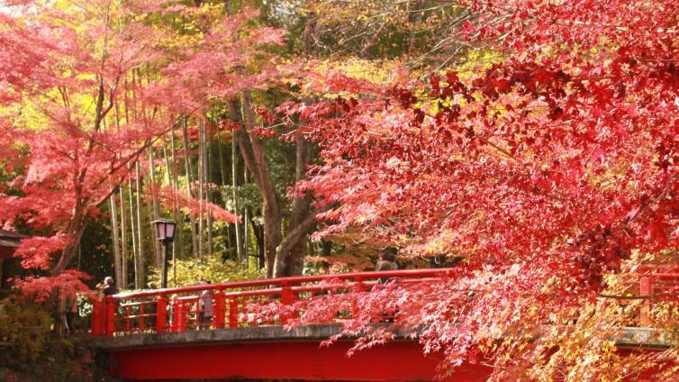 "〈1Day Tour〉Sightseeing at Shuzenji Temple Maple Forest & Big Suspension Bridge ""Mishima Skywalk"""