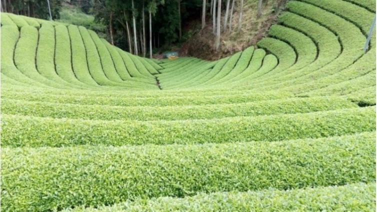 <About 1 hours Activity>Tea ceremony hiking and tea picking experience
