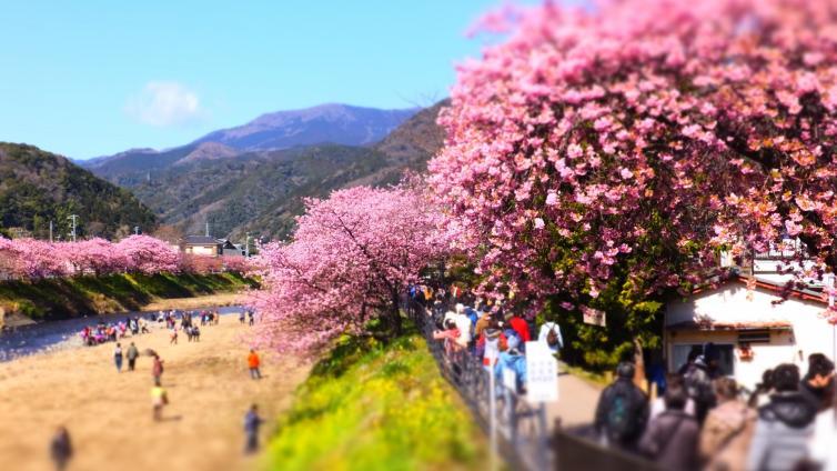 〈1Day Tour〉Join Early Spring Trip for Kawazu Sakura Viewing, Enjoy Tempura Udon Lunch & Strawberry Picking!