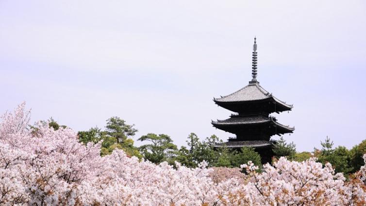 Kyoto Cherry Blossom Tour