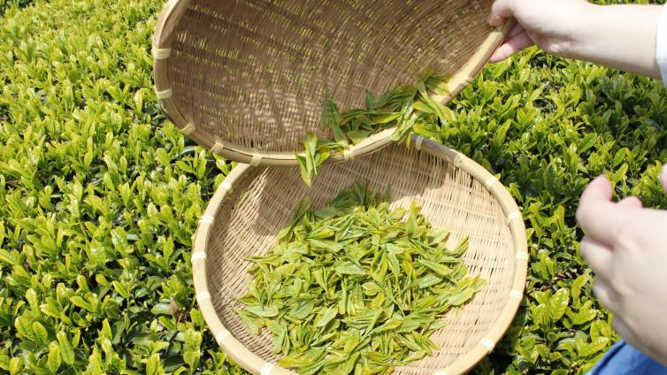 〈About 1 hours Activity〉Tea ceremony hiking and tea picking experience