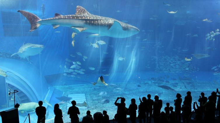 〈1Day Tour〉Okinawa Churaumi Aquarium, Kourijima, Cape Manza & Nago Pineapple Park Course [English Audio]