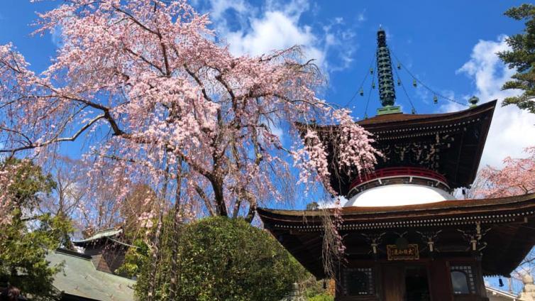 〈1Day Tour〉Nara Cherry Blossom Viewing Tour at World Heritage Site Mount Yoshino