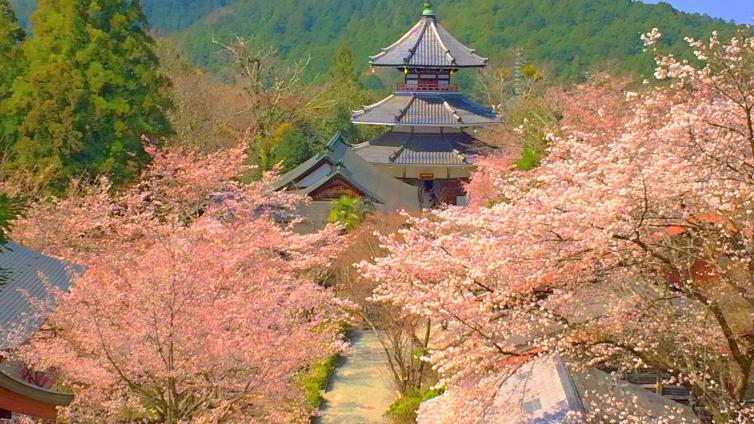 〈1Day Tour〉Nara Cherry Blossom Viewing Tour at World Heritage Site Mount Yoshino (Round Trip from Osaka)