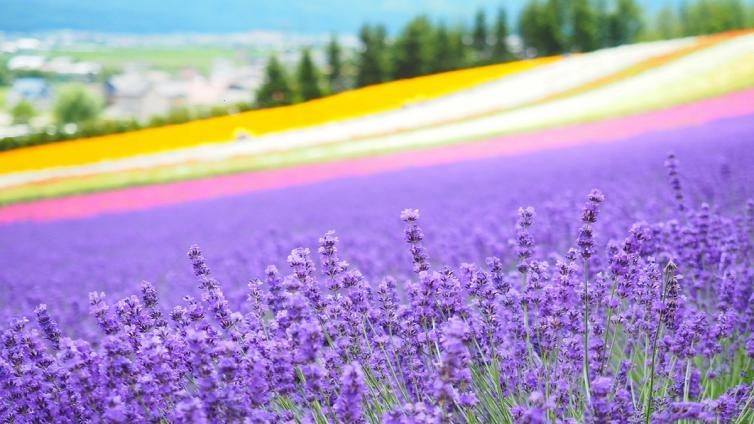 <1Day Tour> Lavenders in Furano, Biei & Blue Pond with Lunch