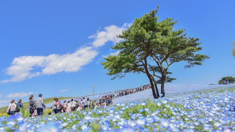 〈1Day Tour〉Hitachi Seaside Park & Ashikaga Flower Park Flower Festival and All-you-can-eat Strawberry Picking