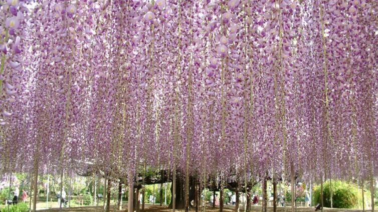 Hitachi Seaside Park & Ashikaga Flower Park Flower Festival and All-you-can-eat Strawberry Picking