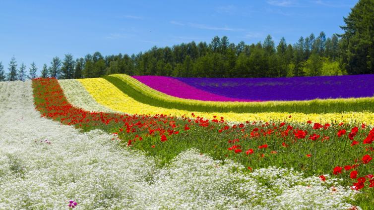 <5Days PKG> Hokkaido Lavender ~Lake Shikotsu, Furano, and Asahikawa~