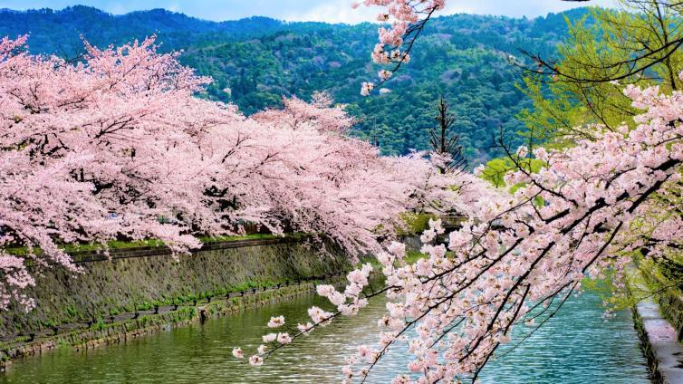 〈1Day Tour〉Kyoto Cherry Blossom Tour