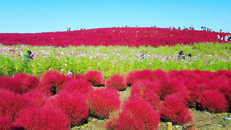 〈1Day Tour〉Fall in Love with Fluffy Kokia at Hitachi Seaside Park