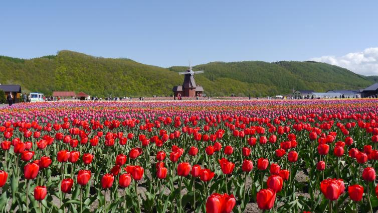 〈1Day Tour〉Takigami Shiba cherry tree and tulip park & Higashi flower's competition Ohanami