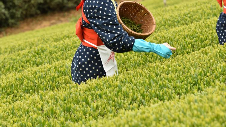 〈1Day Tour〉Experience Tea Picking at Local Tea Garden!Cruise Tour and All-You-Can-Eat Grilled Seafood Lunch!