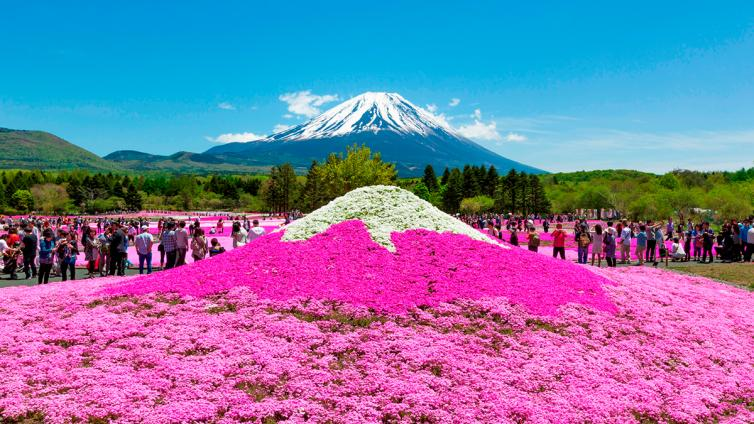 〈1Day Tour〉Dyed all in Pink Fuji Shibazakura & Sightseeing at Mt. Fuji 5th Station!