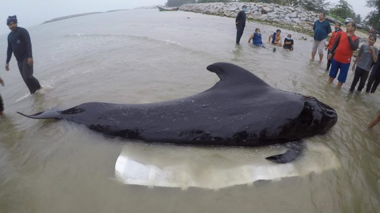 Pilot whale beaches itself in Songkhla   News by Thaiger