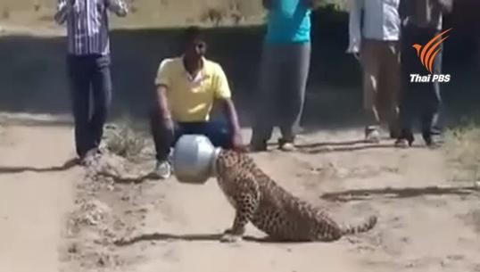 ช่วยเสือดาวหัวติดหม้อในอินเดีย หลังตระเวนหาน้ำกินแก้กระหาย