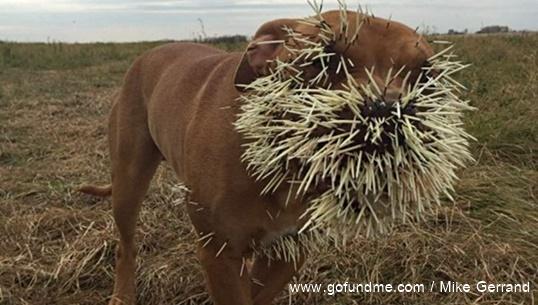 หมาสู้เม่นจนเจ็บหนัก หนุ่มแคนาดาระดมทุนออนไลน์หาค่ารักษาพยาบาล