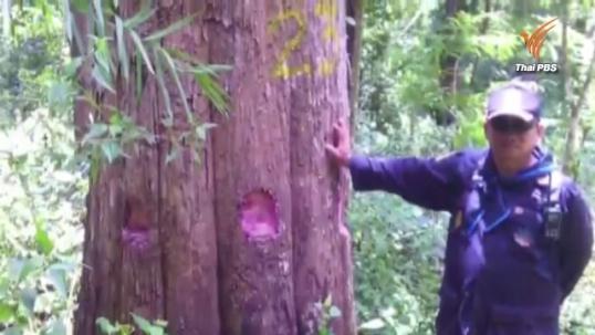 แฉขบวนการมอดไม้ในป่าอนุรักษ์แม่ฮ่องสอน ลักเจาะต้นสัก300ต้นให้ยืนต้นตายก่อนตัดขาย