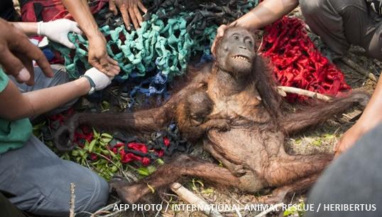 เผยภาพสลด อุรังอุตังแม่-ลูกหนีไฟป่าอินโดนีเซีย ถูกชาวบ้านทำร้ายซ้ำ